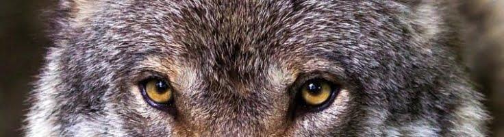 Lobo observando